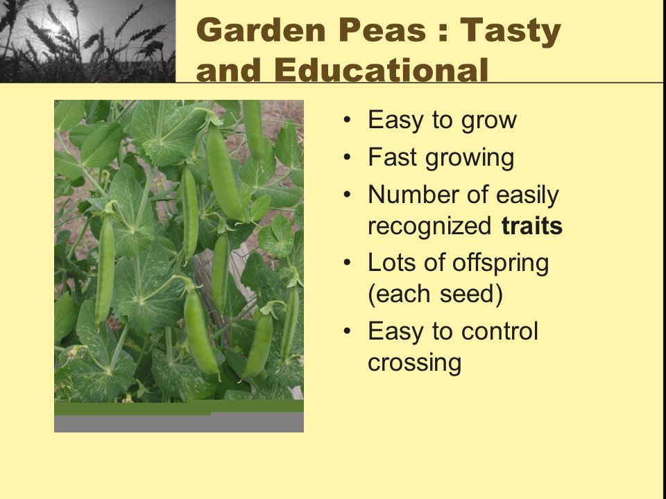 Garden Peas : Tasty and Educational Easy to grow Fast growing Number of easily recognized traits Lots of offspring (each seed) Easy to control crossing