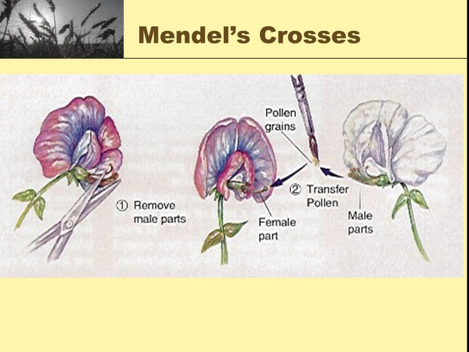 Mendel's Crosses