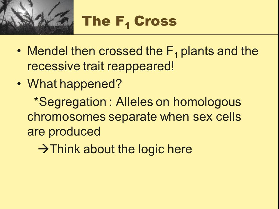 The F 1 Cross Mendel then crossed the F 1 plants and the recessive trait reappeared.