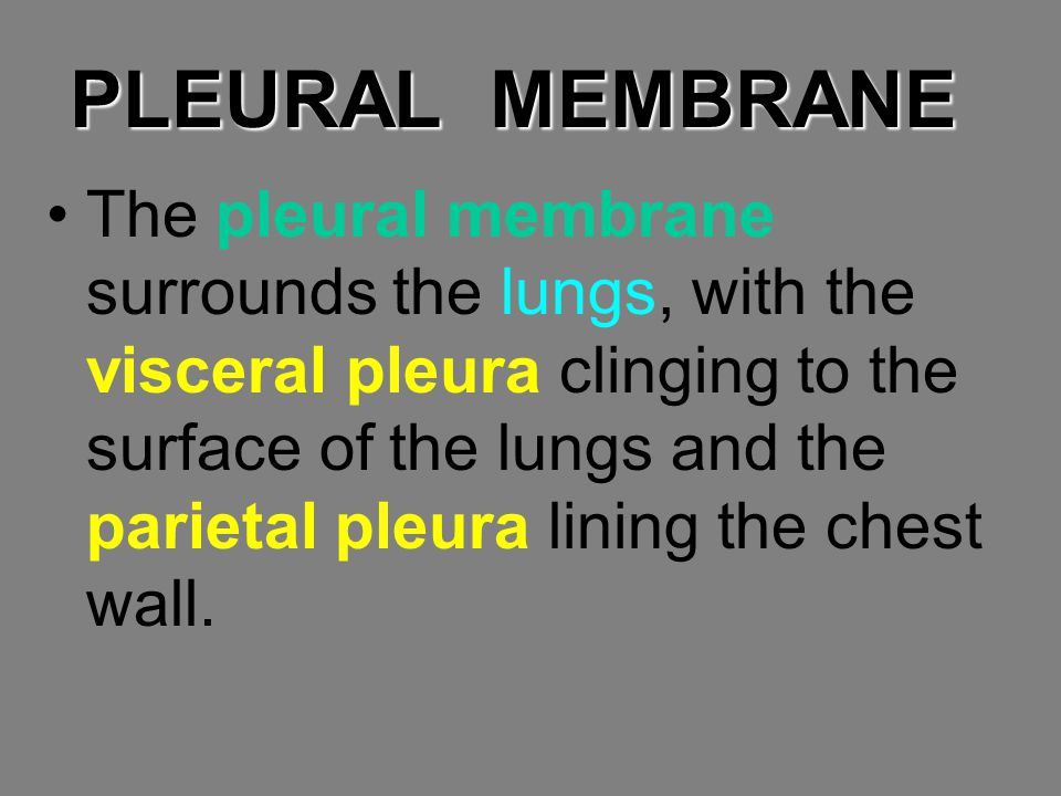 PLEURAL MEMBRANE The pleural membrane surrounds the lungs, with the visceral pleura clinging to the surface of the lungs and the parietal pleura linin