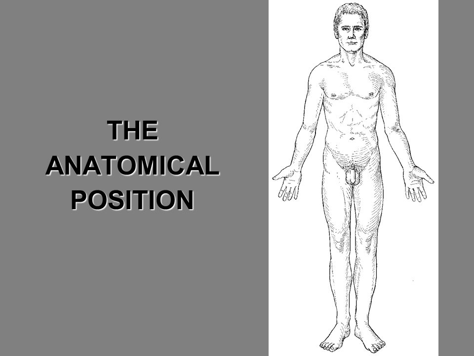 THEANATOMICALPOSITION