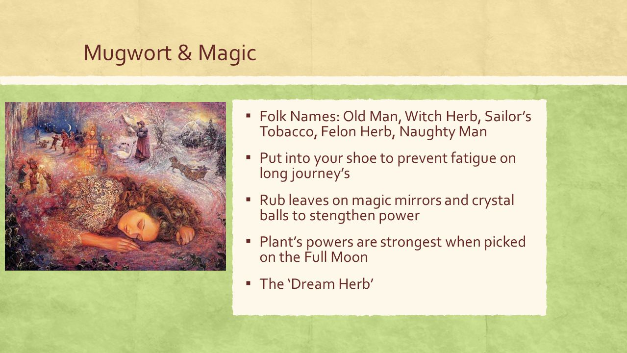 Mugwort & Magic ▪ Folk Names: Old Man, Witch Herb, Sailor's Tobacco, Felon Herb, Naughty Man ▪ Put into your shoe to prevent fatigue on long journey's ▪ Rub leaves on magic mirrors and crystal balls to stengthen power ▪ Plant's powers are strongest when picked on the Full Moon ▪ The 'Dream Herb'
