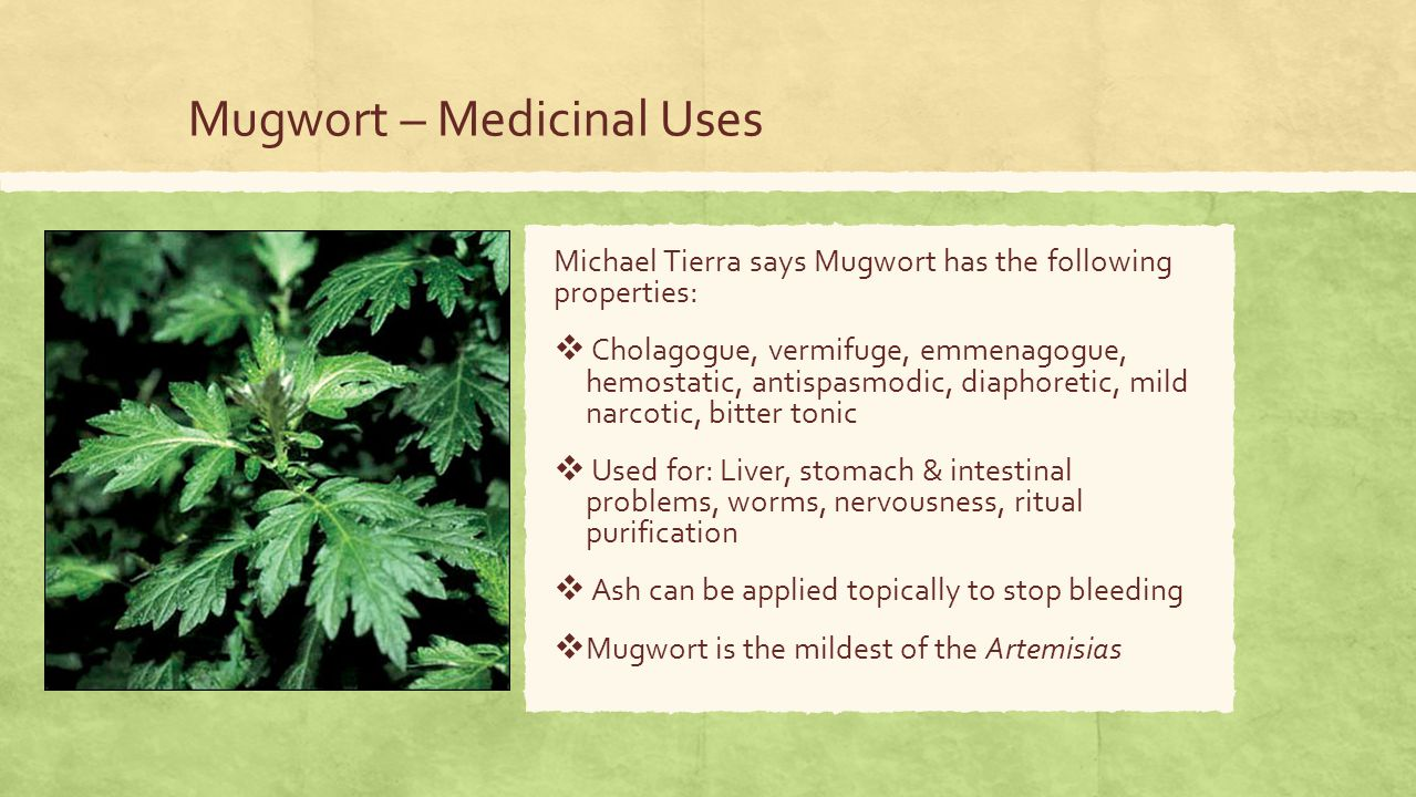 Mugwort – Medicinal Uses Michael Tierra says Mugwort has the following properties:  Cholagogue, vermifuge, emmenagogue, hemostatic, antispasmodic, diaphoretic, mild narcotic, bitter tonic  Used for: Liver, stomach & intestinal problems, worms, nervousness, ritual purification  Ash can be applied topically to stop bleeding  Mugwort is the mildest of the Artemisias
