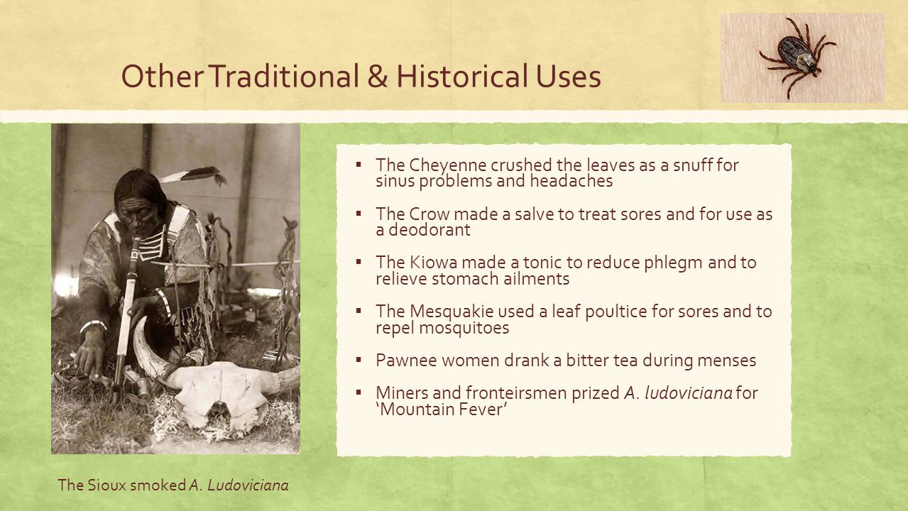 Other Traditional & Historical Uses ▪ The Cheyenne crushed the leaves as a snuff for sinus problems and headaches ▪ The Crow made a salve to treat sores and for use as a deodorant ▪ The Kiowa made a tonic to reduce phlegm and to relieve stomach ailments ▪ The Mesquakie used a leaf poultice for sores and to repel mosquitoes ▪ Pawnee women drank a bitter tea during menses ▪ Miners and fronteirsmen prized A.