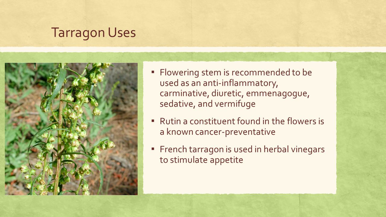 Tarragon Uses ▪ Flowering stem is recommended to be used as an anti-inflammatory, carminative, diuretic, emmenagogue, sedative, and vermifuge ▪ Rutin a constituent found in the flowers is a known cancer-preventative ▪ French tarragon is used in herbal vinegars to stimulate appetite
