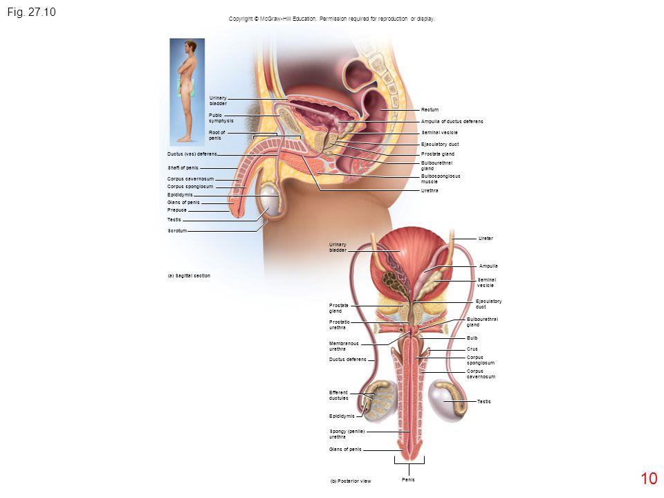 10 Fig. 27.10 Urinary bladder Pubic symphysis Root of penis Ductus (vas) deferens Shaft of penis Corpus cavernosum Corpus spongiosum Epididymis Glans