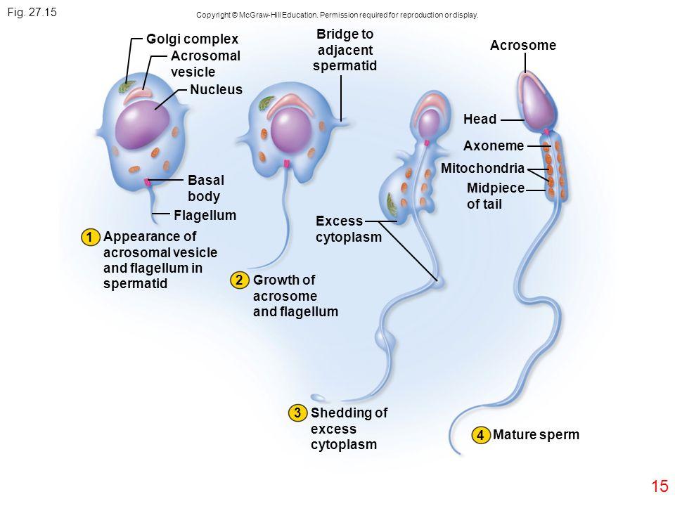 15 Fig. 27.15 Golgi complex Acrosomal vesicle Nucleus Bridge to adjacent spermatid Acrosome Head Axoneme Mitochondria Midpiece of tail Basal body Flag