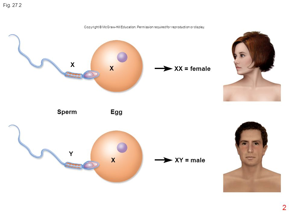 2 Fig. 27.2 X X SpermEgg XX = female XY = male Y X Copyright © McGraw-Hill Education. Permission required for reproduction or display.