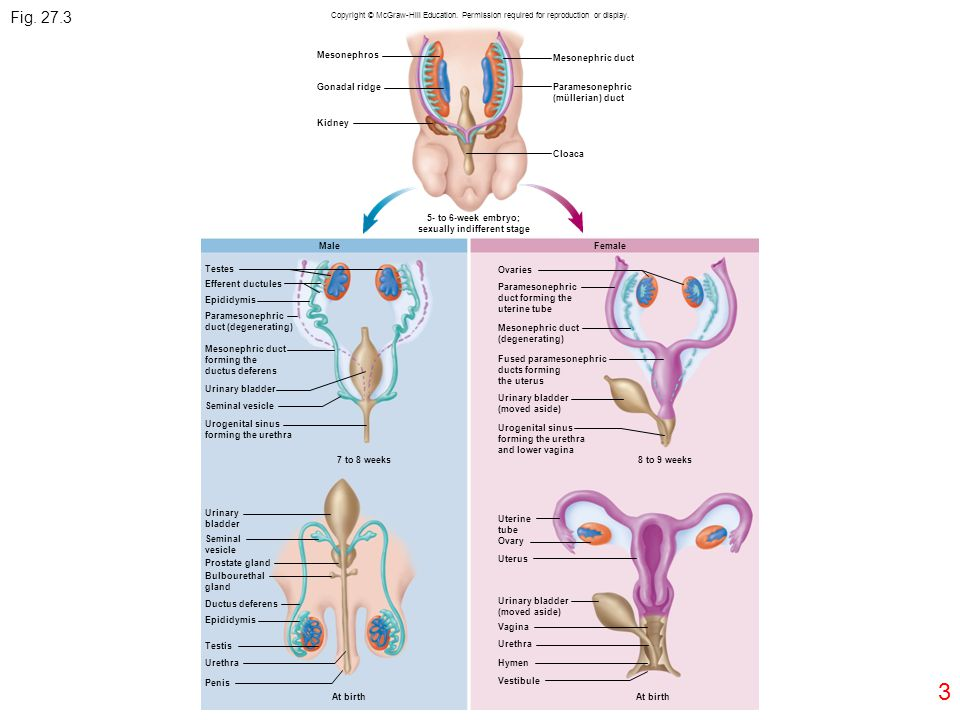 3 Fig. 27.3 Copyright © McGraw-Hill Education. Permission required for reproduction or display. Mesonephros Gonadal ridge Kidney Mesonephric duct Para