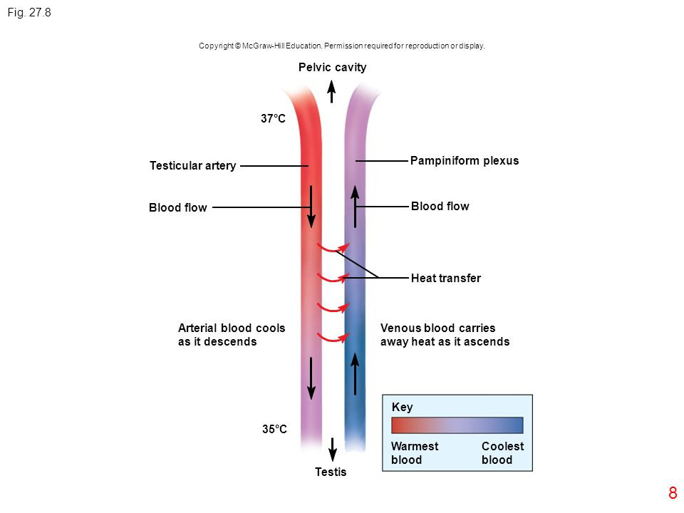 8 Fig. 27.8 Copyright © McGraw-Hill Education. Permission required for reproduction or display. Pelvic cavity Testicular artery 37°C Blood flow Arteri