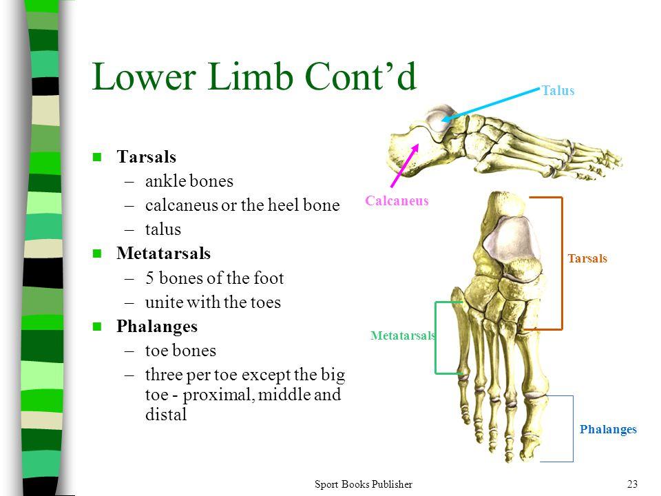 Sport Books Publisher23 Lower Limb Cont'd Tarsals –ankle bones –calcaneus or the heel bone –talus Metatarsals –5 bones of the foot –unite with the toe