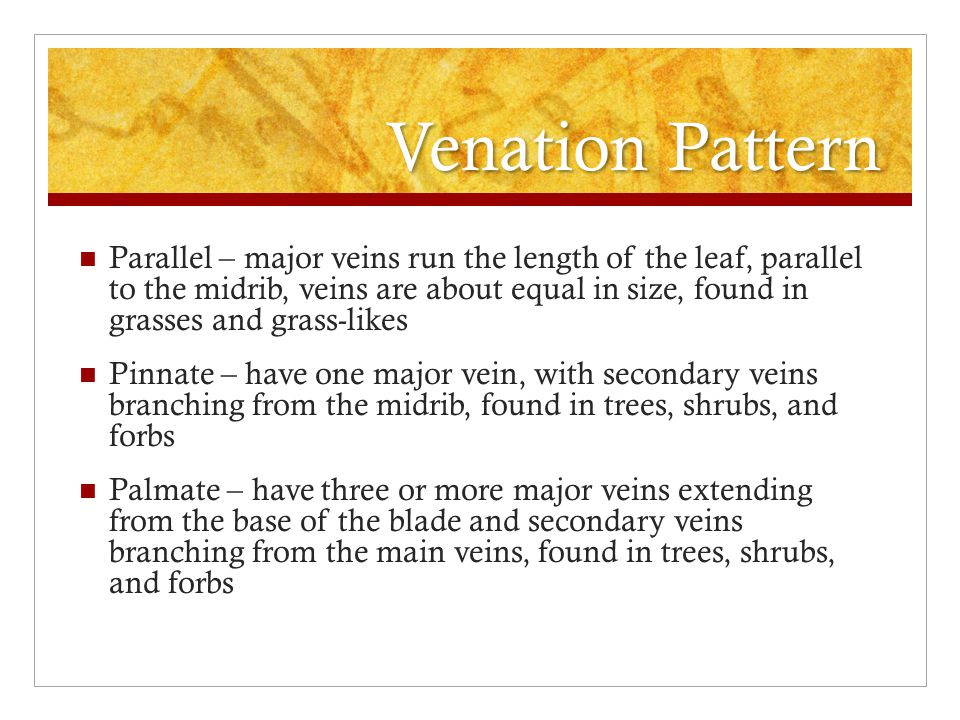 Venation Pattern Parallel – major veins run the length of the leaf, parallel to the midrib, veins are about equal in size, found in grasses and grass-likes Pinnate – have one major vein, with secondary veins branching from the midrib, found in trees, shrubs, and forbs Palmate – have three or more major veins extending from the base of the blade and secondary veins branching from the main veins, found in trees, shrubs, and forbs