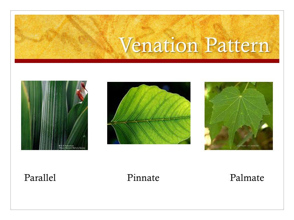 Venation Pattern ParallelPinnatePalmate
