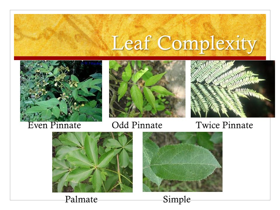 Leaf Complexity PalmateSimple Even PinnateOdd PinnateTwice Pinnate