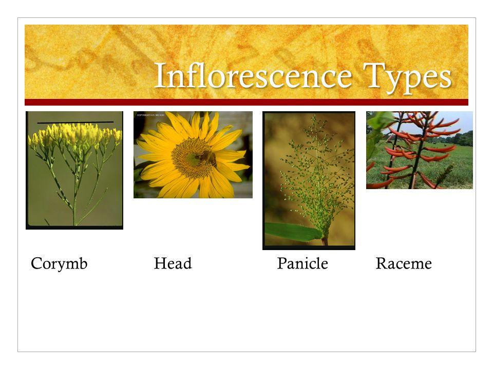 Inflorescence Types CorymbHeadPanicleRaceme