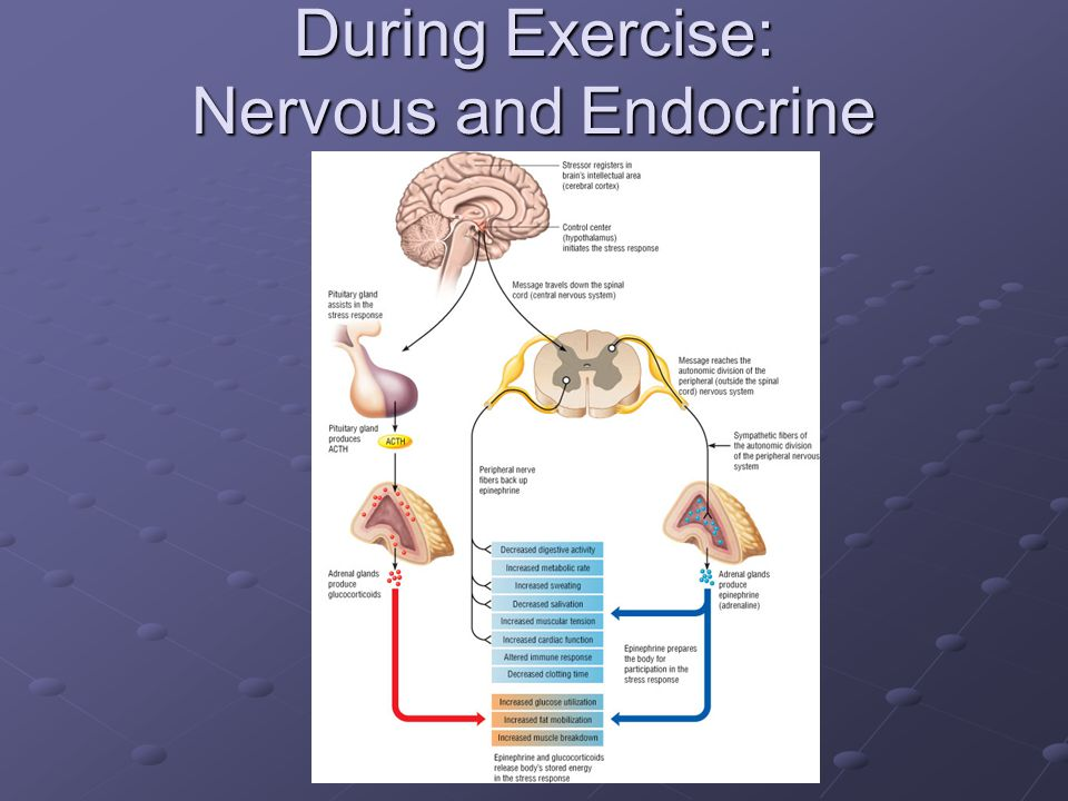 During Exercise: Nervous and Endocrine Systems