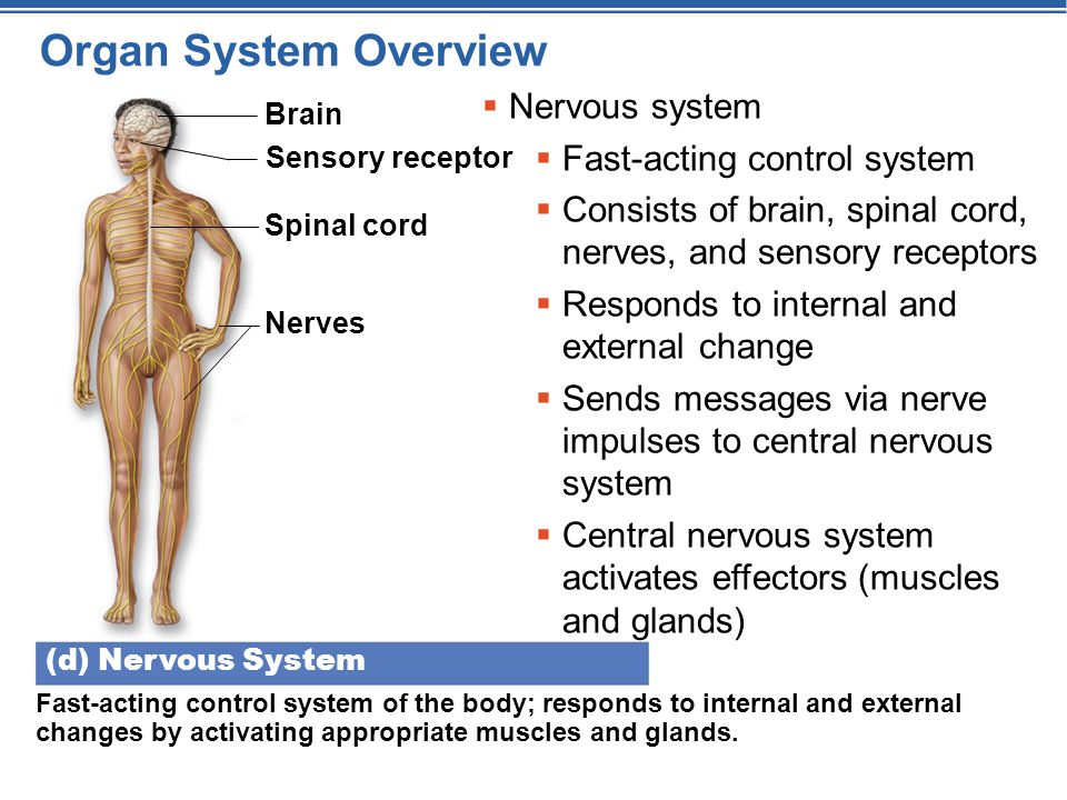 Brain Sensory receptor Spinal cord Nerves (d) Nervous System Fast-acting control system of the body; responds to internal and external changes by acti
