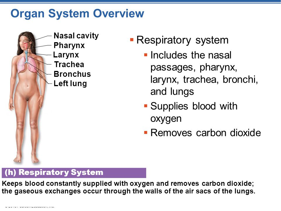 © 2015 Pearson Education, Inc. Organ System Overview (h) Respiratory System Keeps blood constantly supplied with oxygen and removes carbon dioxide; th