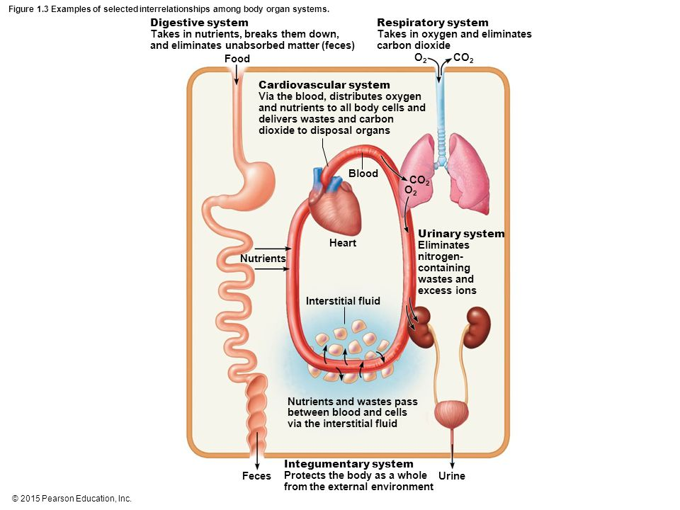 © 2015 Pearson Education, Inc. Figure 1.3 Examples of selected interrelationships among body organ systems. Digestive system Takes in nutrients, break