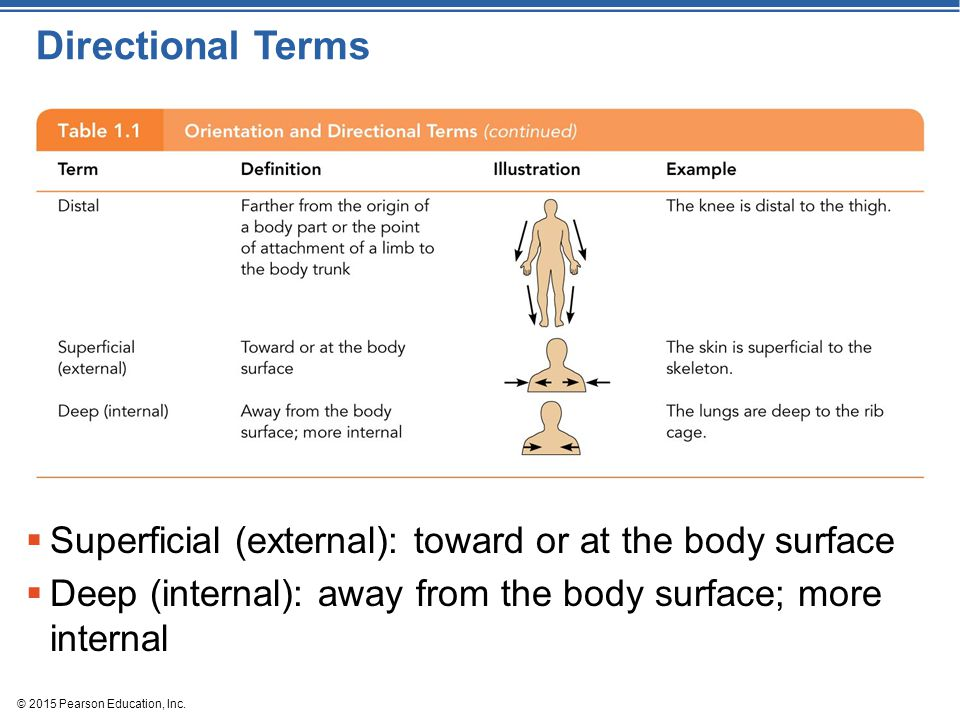 © 2015 Pearson Education, Inc. Directional Terms  Superficial (external): toward or at the body surface  Deep (internal): away from the body surface