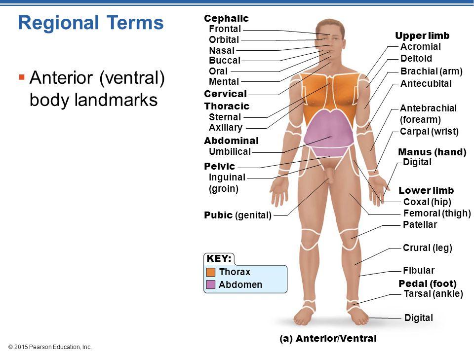 © 2015 Pearson Education, Inc. Regional Terms  Anterior (ventral) body landmarks Frontal Cephalic Orbital Nasal Buccal Oral Mental Cervical Thoracic