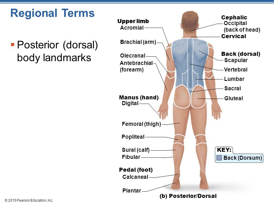 © 2015 Pearson Education, Inc. Regional Terms  Posterior (dorsal) body landmarks (b) Posterior/Dorsal Upper limb Acromial Brachial (arm) Olecranal An