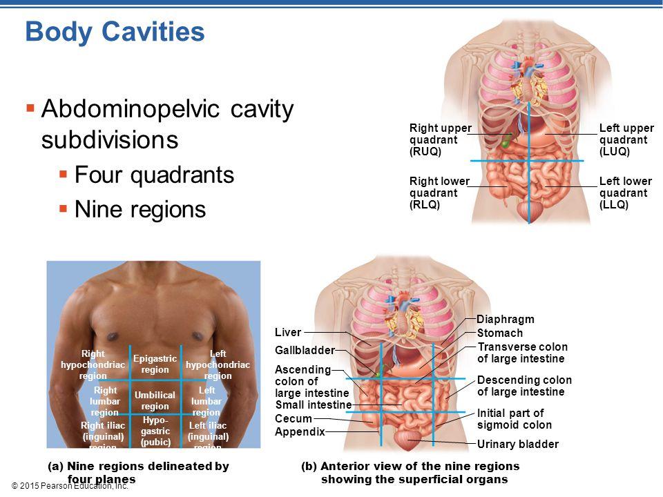© 2015 Pearson Education, Inc. Body Cavities  Abdominopelvic cavity subdivisions  Four quadrants  Nine regions Left upper quadrant (LUQ) Left lower