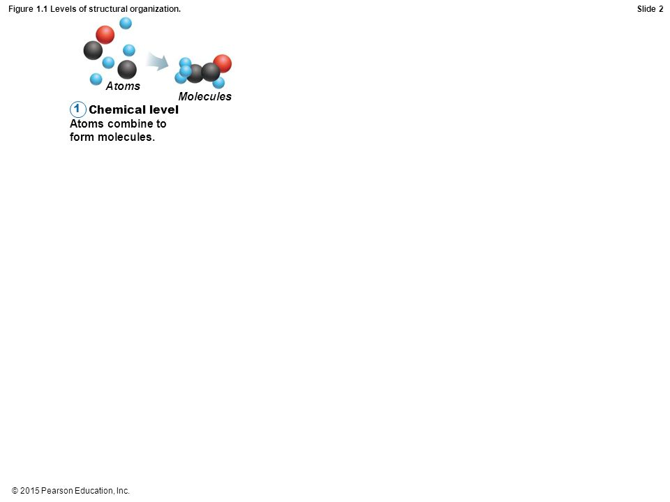 © 2015 Pearson Education, Inc. Figure 1.1 Levels of structural organization. Chemical level Atoms combine to form molecules. 1 Atoms Molecules Slide 2