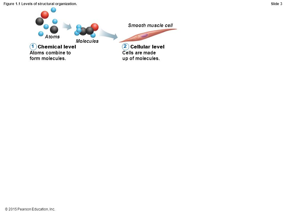 © 2015 Pearson Education, Inc. Figure 1.1 Levels of structural organization. Chemical level Atoms combine to form molecules. 1 Atoms Molecules Smooth
