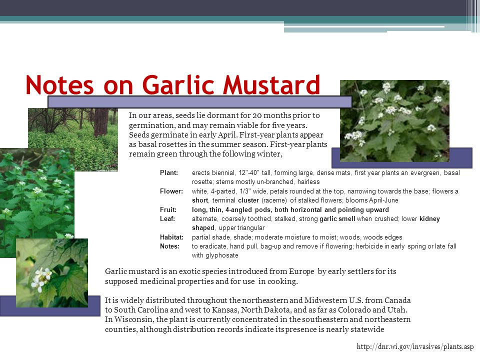 Notes on Garlic Mustard Plant: erects biennial, 12 -40 tall, forming large, dense mats, first year plants an evergreen, basal rosette; stems mostly un-branched, hairless Flower: white, 4-parted, 1/3 wide, petals rounded at the top, narrowing towards the base; flowers a short, terminal cluster (raceme) of stalked flowers; blooms April-June Fruit:long, thin, 4-angled pods, both horizontal and pointing upward Leaf: alternate, coarsely toothed, stalked, strong garlic smell when crushed; lower kidney shaped, upper triangular Habitat: partial shade, shade; moderate moisture to moist; woods, woods edges Notes: to eradicate, hand pull, bag-up and remove if flowering; herbicide in early spring or late fall with glyphosate http://dnr.wi.gov/invasives/plants.asp Garlic mustard is an exotic species introduced from Europe by early settlers for its supposed medicinal properties and for use in cooking.