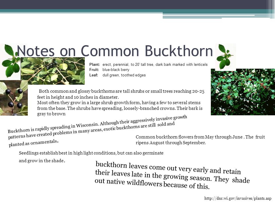 Notes on Common Buckthorn http://dnr.wi.gov/invasives/plants.asp Plant: erect, perennial, to 20 tall tree, dark bark marked with lenticels Fruit:blue-black berry Leaf:dull green, toothed edges Both common and glossy buckthorns are tall shrubs or small trees reaching 20-25 feet in height and 10 inches in diameter.