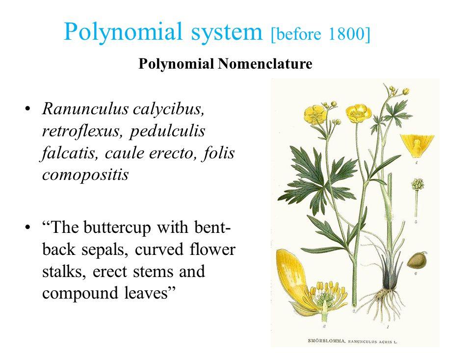 """Polynomial system [before 1800] Polynomial Nomenclature Ranunculus calycibus, retroflexus, pedulculis falcatis, caule erecto, folis comopositis """"The b"""