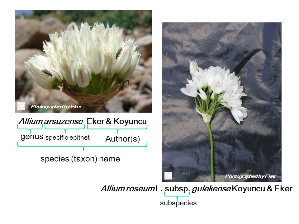 Allium arsuzense Eker & Koyuncu Allium roseum L. subsp. gulekense Koyuncu & Eker genus specific epithet Author(s) species (taxon) name subspecies Phot