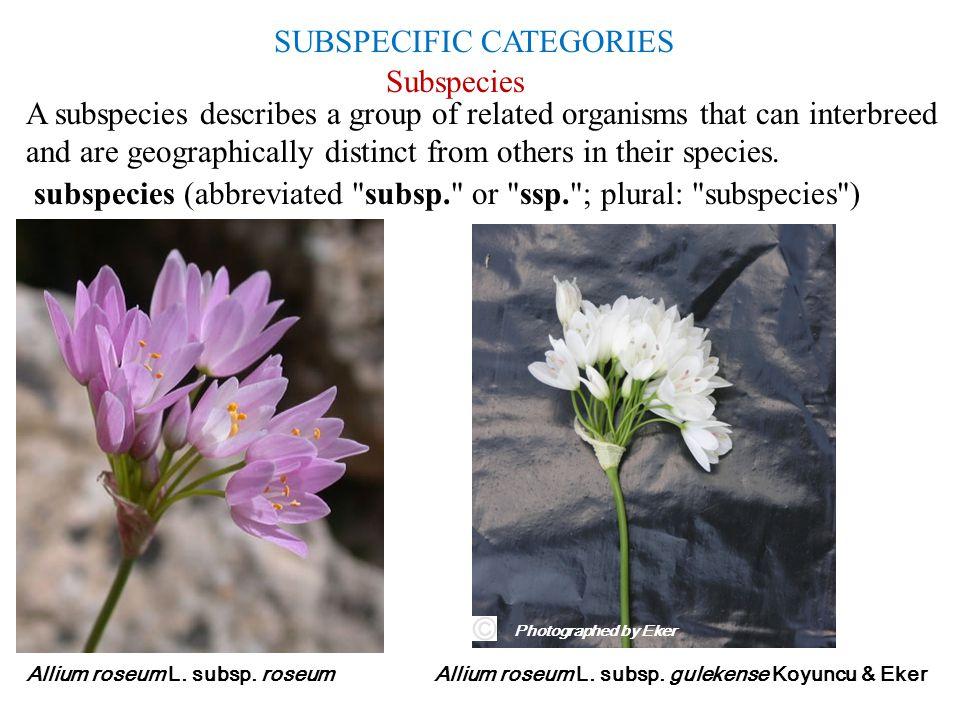 SUBSPECIFIC CATEGORIES Allium roseum L. subsp. gulekense Koyuncu & EkerAllium roseum L. subsp. roseum Subspecies Photographed by Eker subspecies (abbr