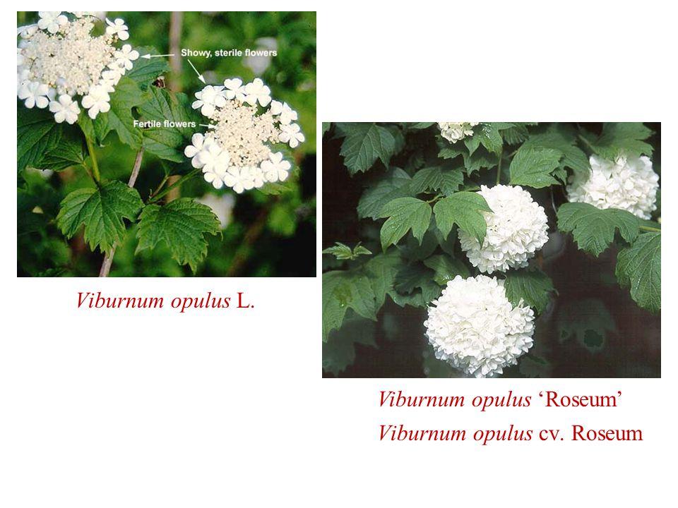 Viburnum opulus 'Roseum' Viburnum opulus cv. Roseum Viburnum opulus L.