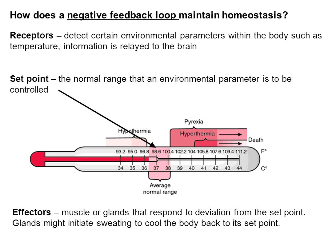 How does a negative feedback loop maintain homeostasis? Receptors – detect certain environmental parameters within the body such as temperature, infor