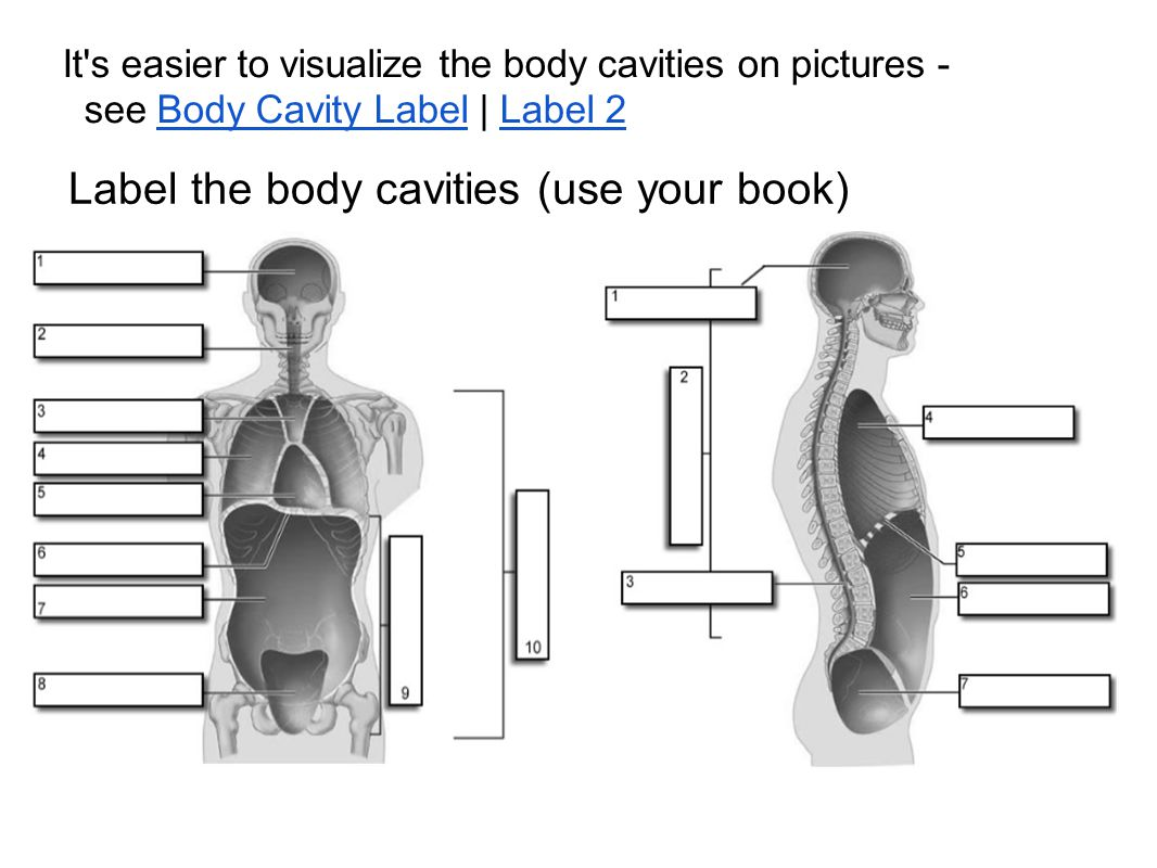 Label the body cavities (use your book) It's easier to visualize the body cavities on pictures - see Body Cavity Label | Label 2Body Cavity LabelLabel