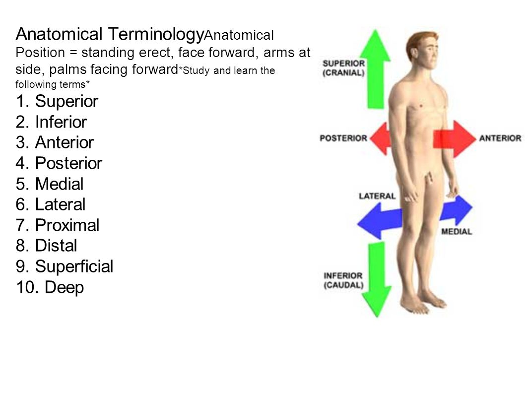 Anatomical Terminology Anatomical Position = standing erect, face forward, arms at side, palms facing forward *Study and learn the following terms* 1.