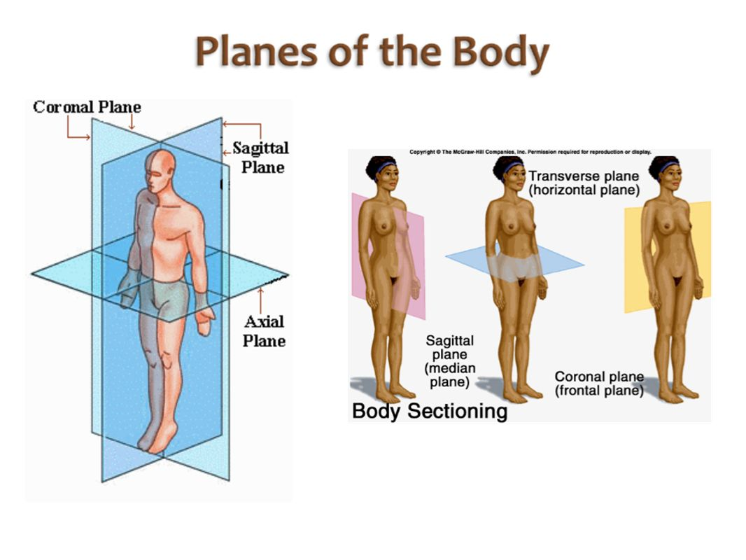 Median plane anatomy 8392104 - follow4more.info