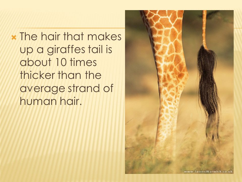  The hair that makes up a giraffes tail is about 10 times thicker than the average strand of human hair.