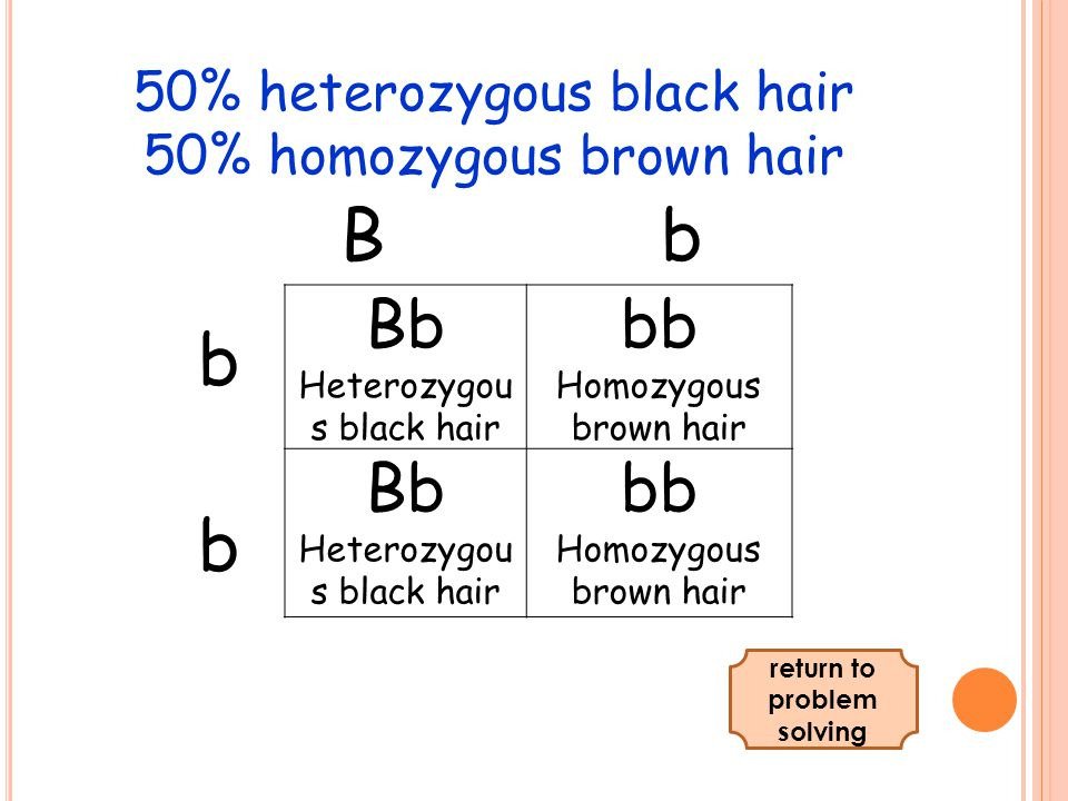 BbBb bbbb 50% heterozygous black hair 50% homozygous brown hair Bb Heterozygou s black hair bb Homozygous brown hair Bb Heterozygou s black hair bb Homozygous brown hair return to problem solving