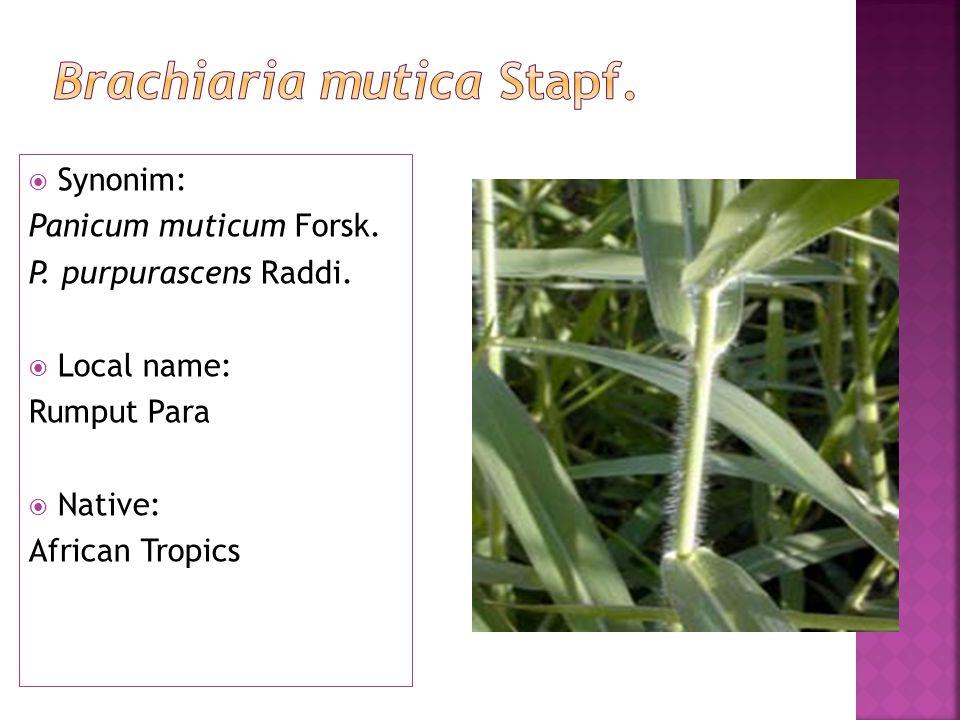  Synonim: Panicum muticum Forsk. P. purpurascens Raddi.