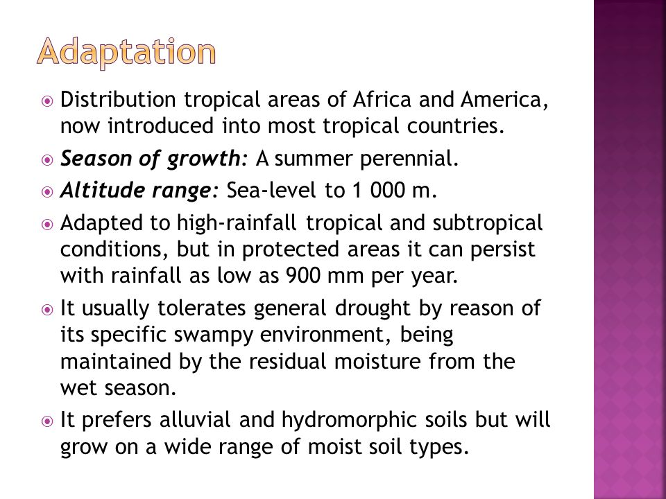  Distribution tropical areas of Africa and America, now introduced into most tropical countries.