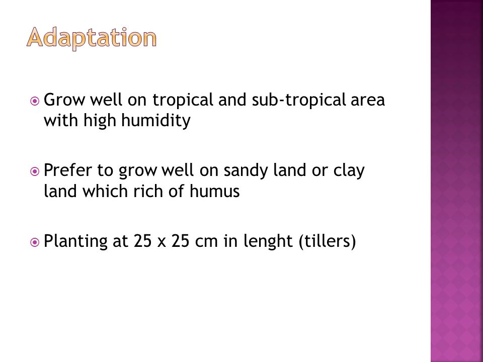 Grow well on tropical and sub-tropical area with high humidity  Prefer to grow well on sandy land or clay land which rich of humus  Planting at 25 x 25 cm in lenght (tillers)