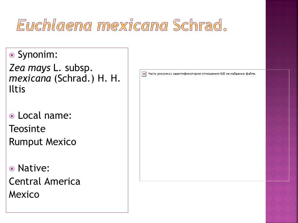 Synonim: Zea mays L. subsp. mexicana (Schrad.) H.