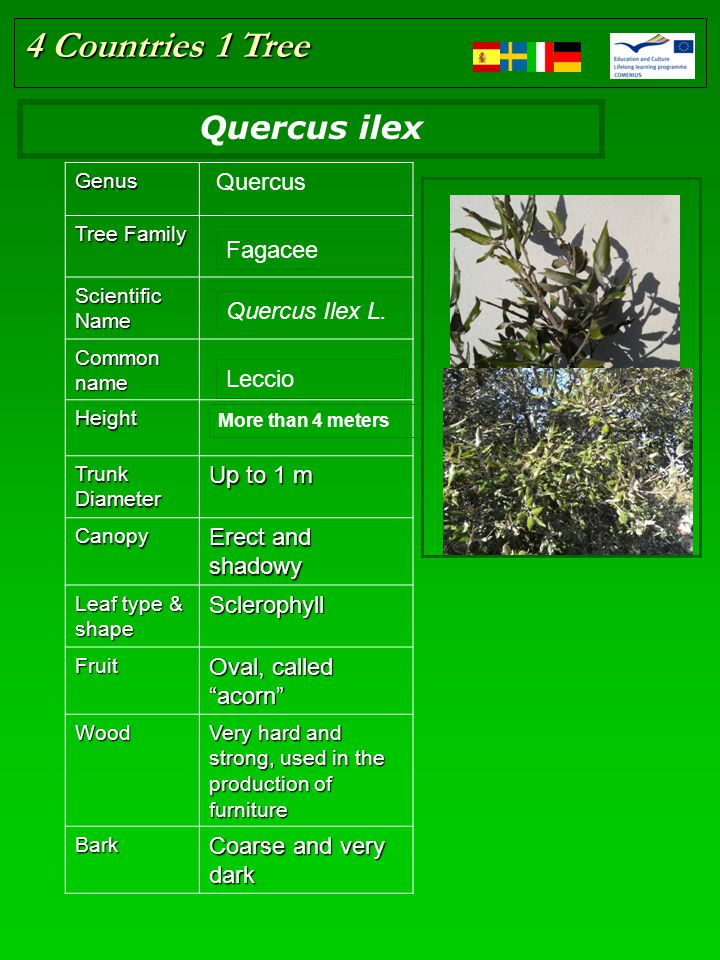 4 Countries 1 Tree Place here the tree picture Resize if in need Genus Quercus Tree Family Scientific Name Common name Height Trunk Diameter Up to 1 m