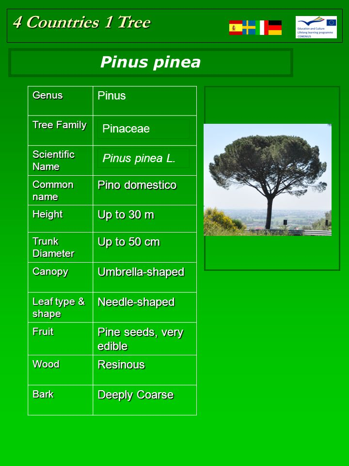 4 Countries 1 Tree Place here the tree picture Resize if in need Genus Pinus Tree Family Scientific Name Common name Pino domestico Height Up to 30 m Trunk Diameter Up to 50 cm CanopyUmbrella-shaped Leaf type & shape Needle-shaped Fruit Pine seeds, very edible WoodResinous Bark Deeply Coarse Pinaceae Pinus pinea L.
