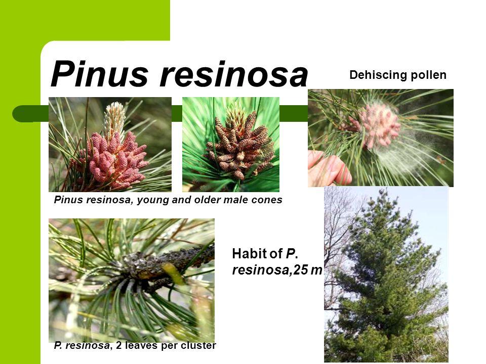 Pinus resinosa Pinus resinosa, young and older male cones P.