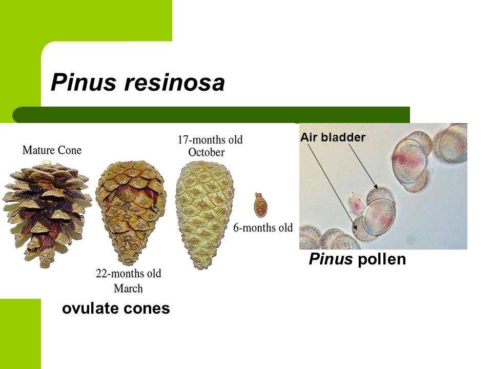 Pinus resinosa ovulate cones Pinus pollen Air bladder