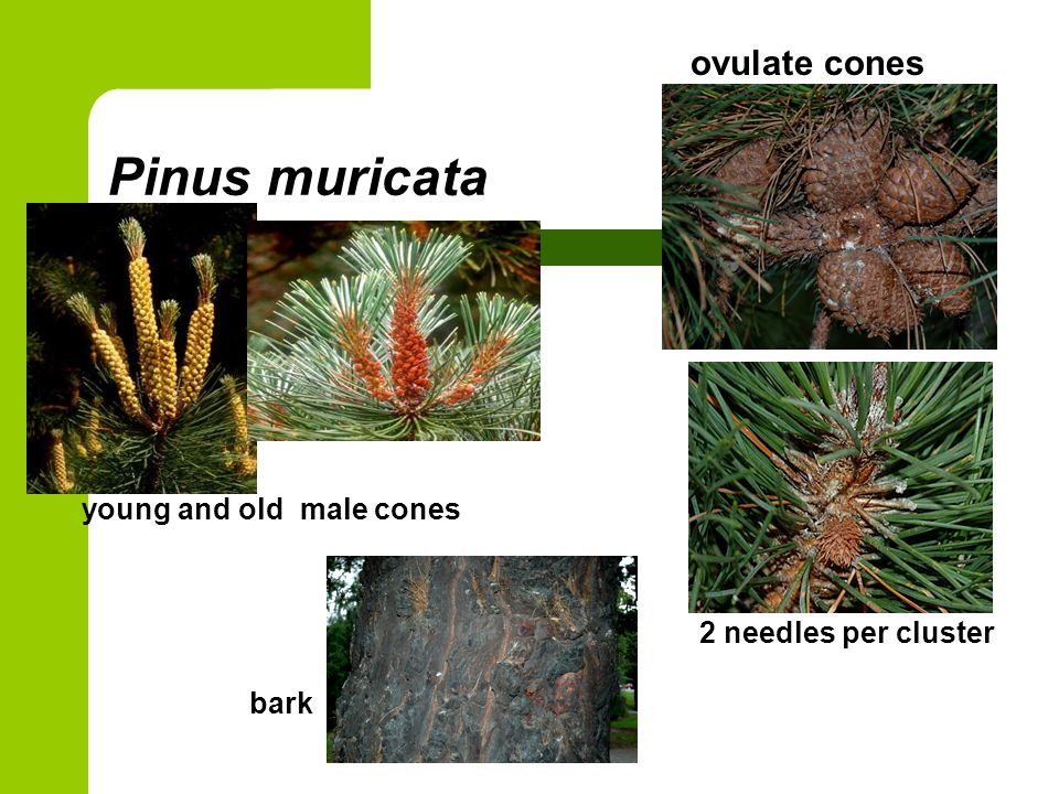 Pinus muricata young and old male cones ovulate cones 2 needles per cluster bark